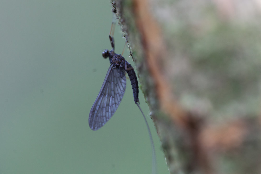 If you cannot tell by the moist air and downhill walk, then you can surely tell you're approaching a river by the change of insects. Here, a mayfly, dries its wings on a tree.