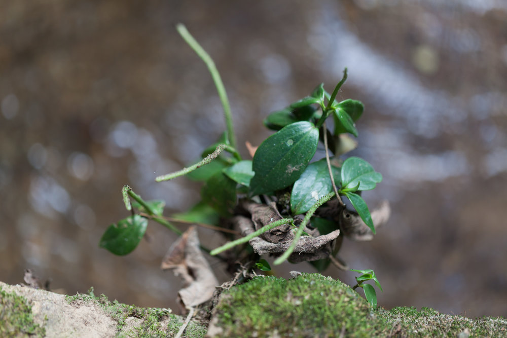 Another  Peperomia  sp. clings to a mossy rock.