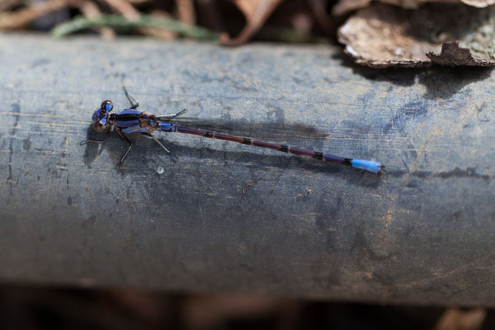 A blue damselfly larvae rests on a tree branch near the river.