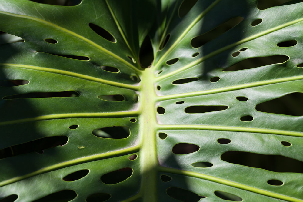 A close-up of the  Monstera deliciosa  leaf. I had been told by a greenhouse owner that it was to let water fall through so leaves wouldn't rip, but the more up-to-date information is for sunlight to get through to the bottom leaves of the plants.
