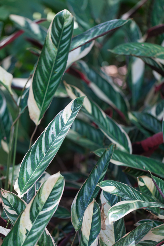 Stromanthe-sanguinea-Triostar.jpg