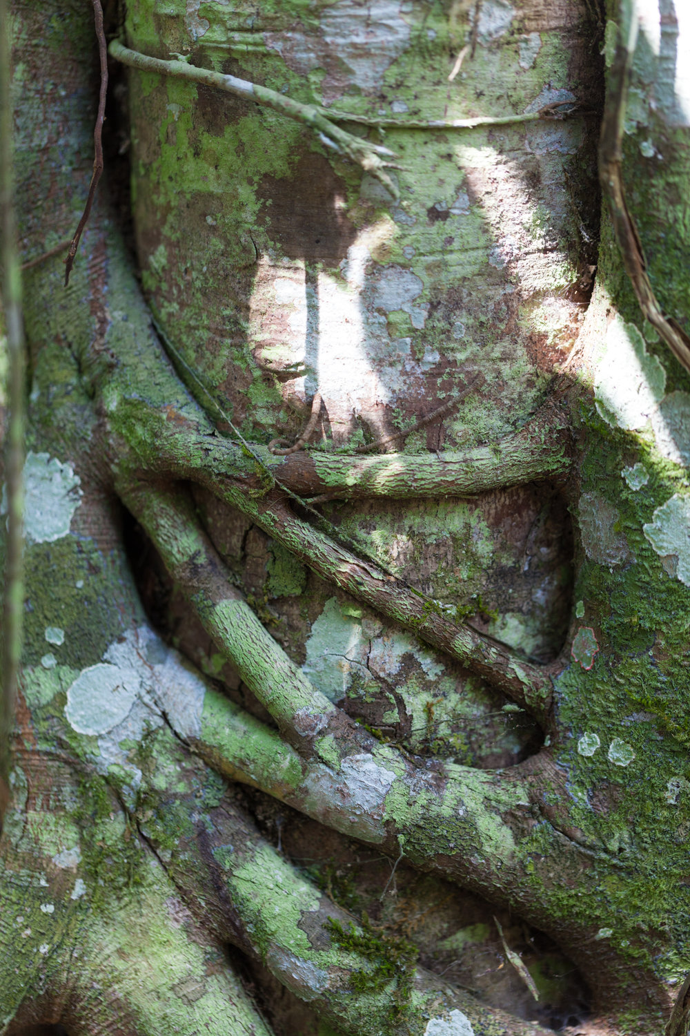 "A ""Strangler fig"" is a generic term for many species of plants that tend to wrap around a host species."