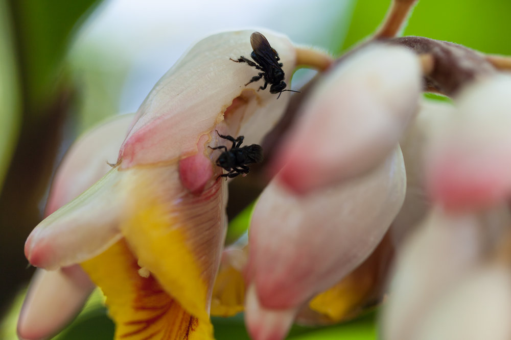 Some robber bees seen stealing nectar from a  Alpinia zerumbet  flower.