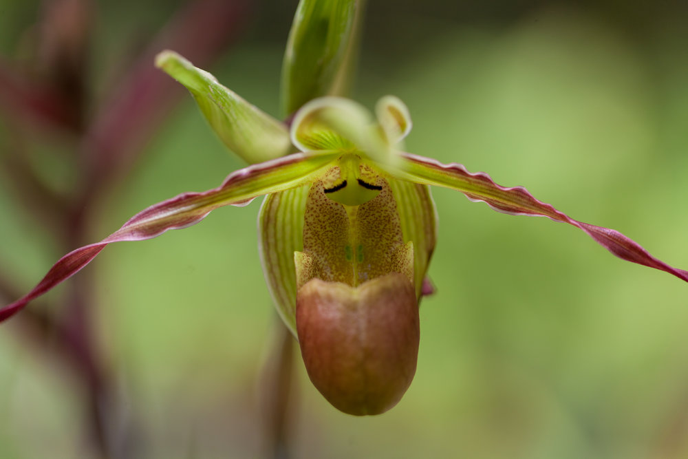 Phragmipedium Longifolium  Lady Slippers orchid in the Lankester Botanical Gardens, Costa Rica.