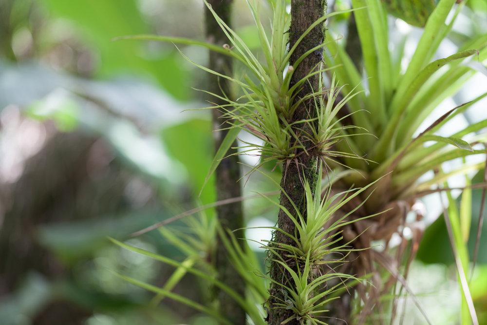 Tillandsia  were always within eyeshot. CATIE, Turralba, Costa Rica.