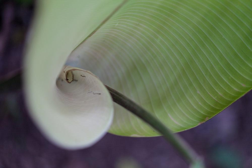 whorled-leaf-Costa-Rica-CATIE.jpg