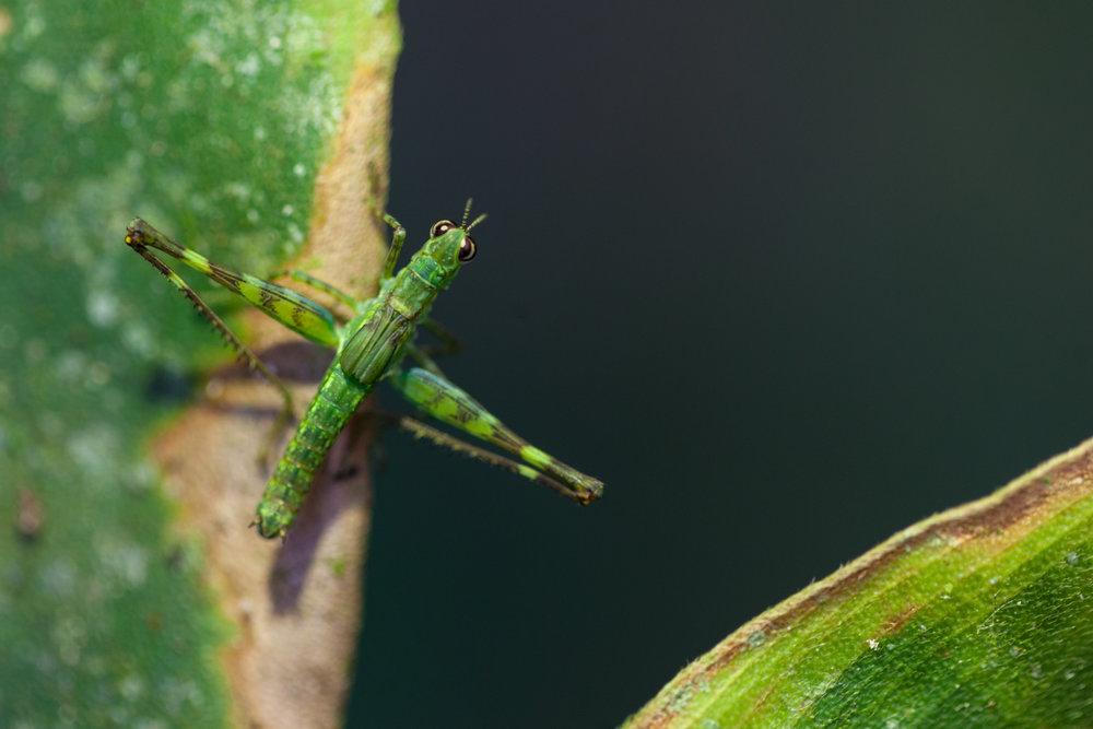 grasshopper-Costa-Rica.jpg