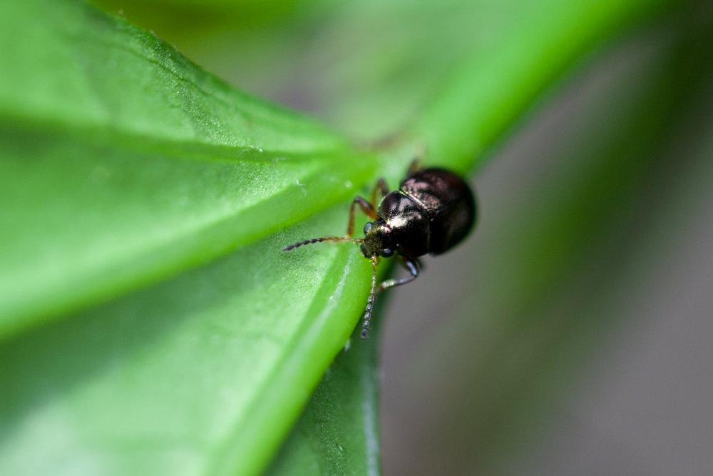 beetle-Costa-Rica.jpg