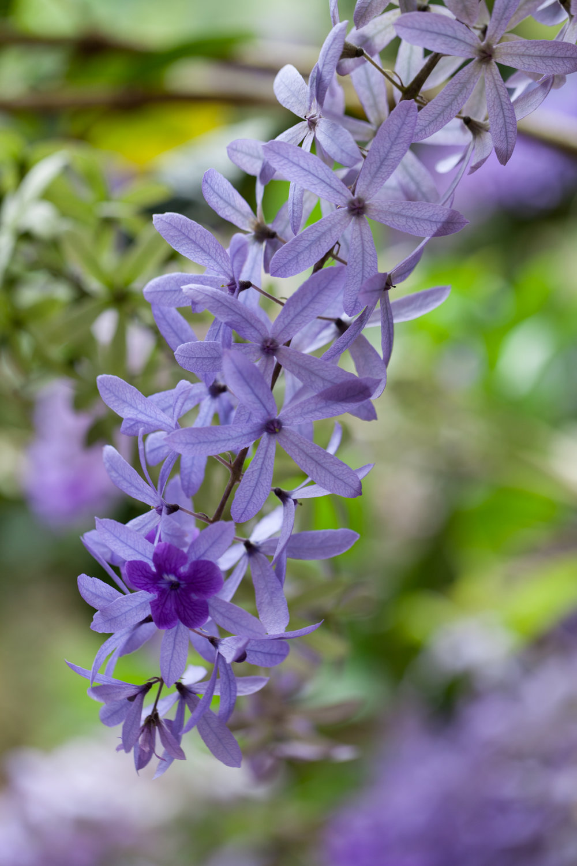 purple-flowers-Costa-Rica.jpg