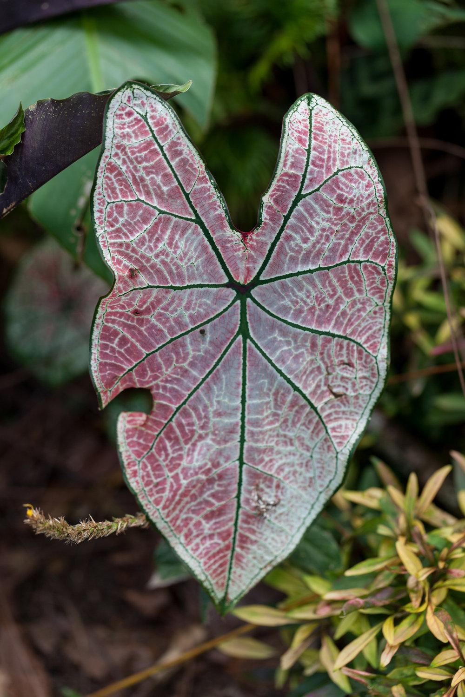Caladium  sp. CATIE, Turrialba, Costa Rica.