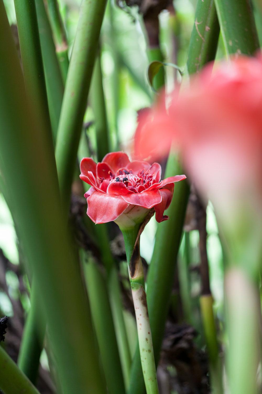 Nicolaia elatior  (Red torch ginger).CATIE, Turrialba, Costa Rica