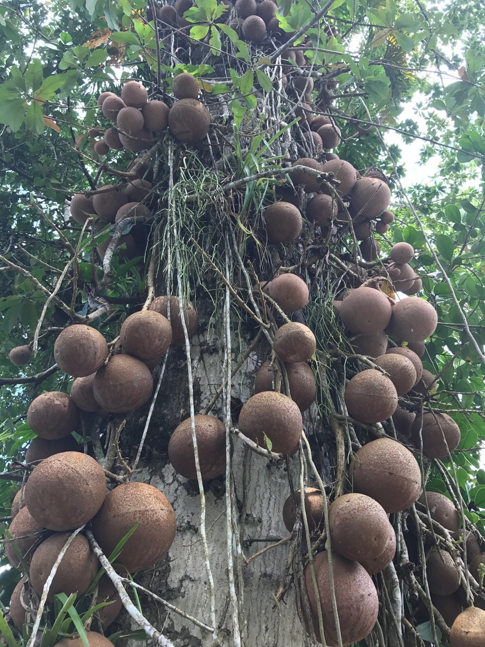 You wouldn't want to be caught under this tree in a stiff breeze! This is a cannonball tree.
