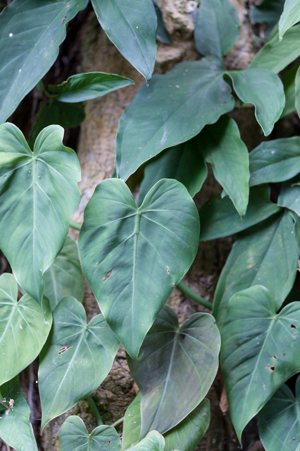 philodendron-Costa-Rica.jpg