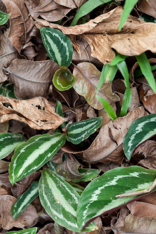 Calathea-emerging-Costa-Rica.jpg