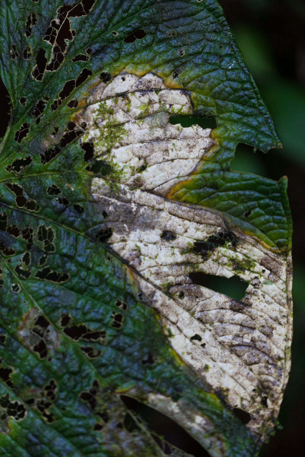 I find so much beauty in insect-chewed leaves. Tapanti National Park, Costa Rica.