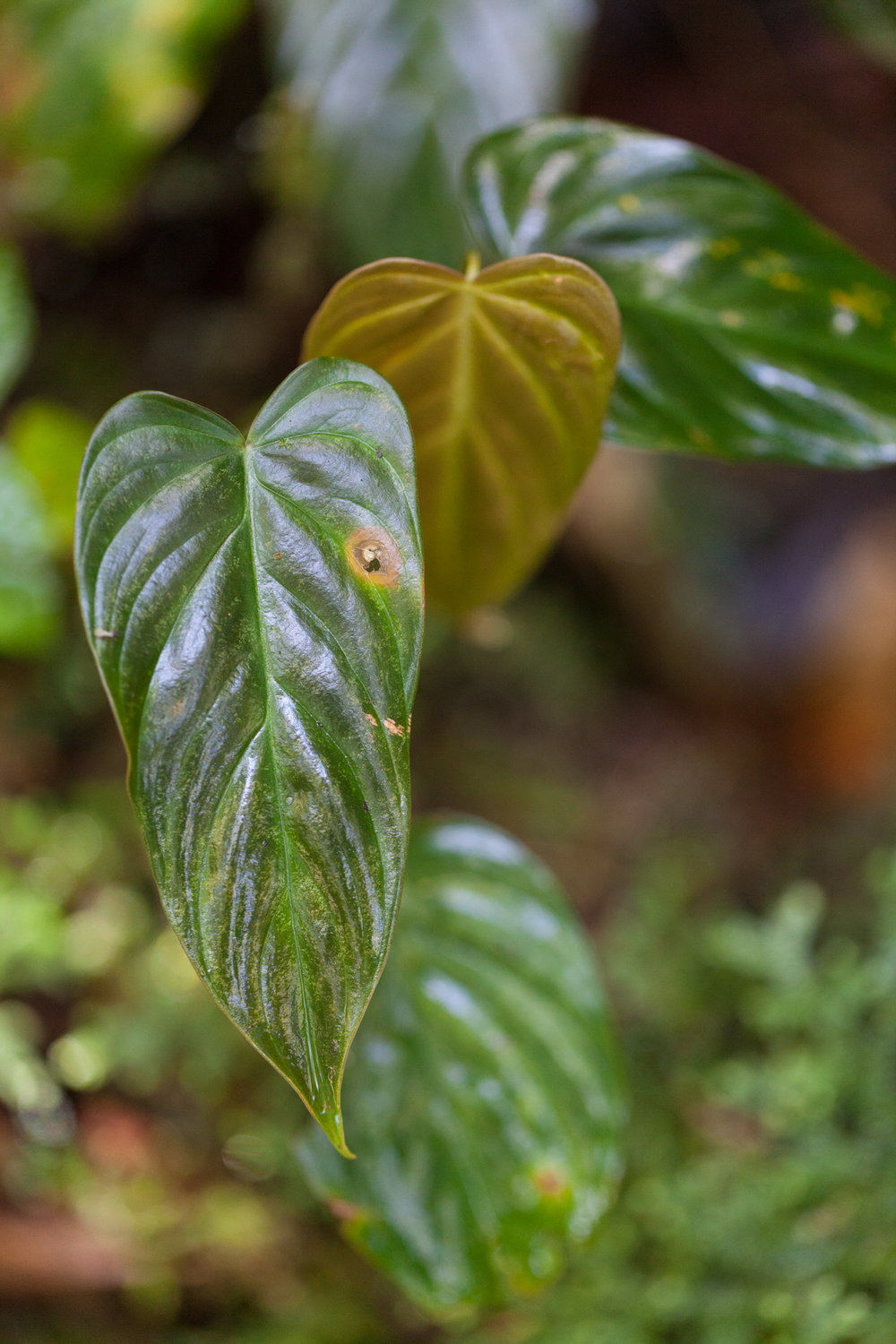 Some  Philodendrons  still wet from the early morning dampness. Tapanti National Park, Costa Rica.