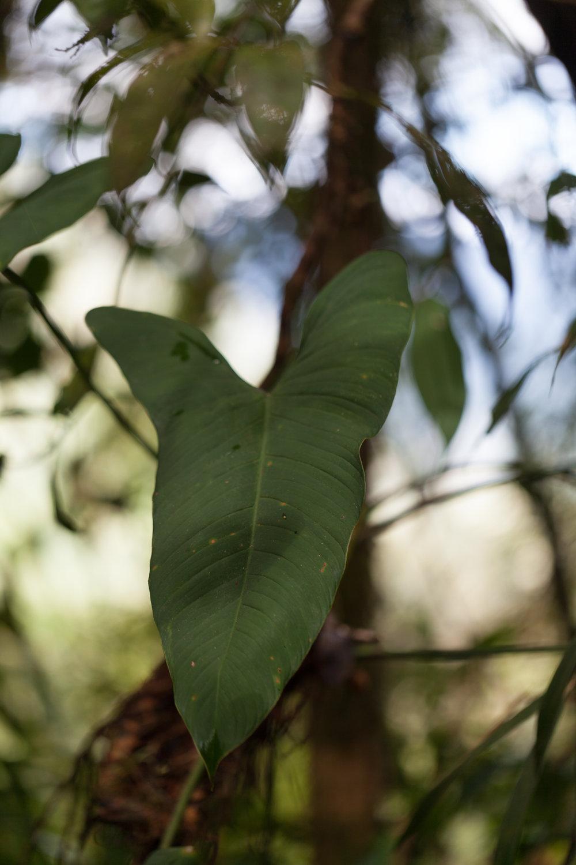 alocasia-Tapanti-national-park.jpg