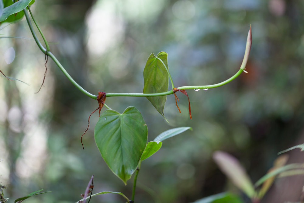 Philodendron-Costa-Rica-Tapanti-National-Park.jpg
