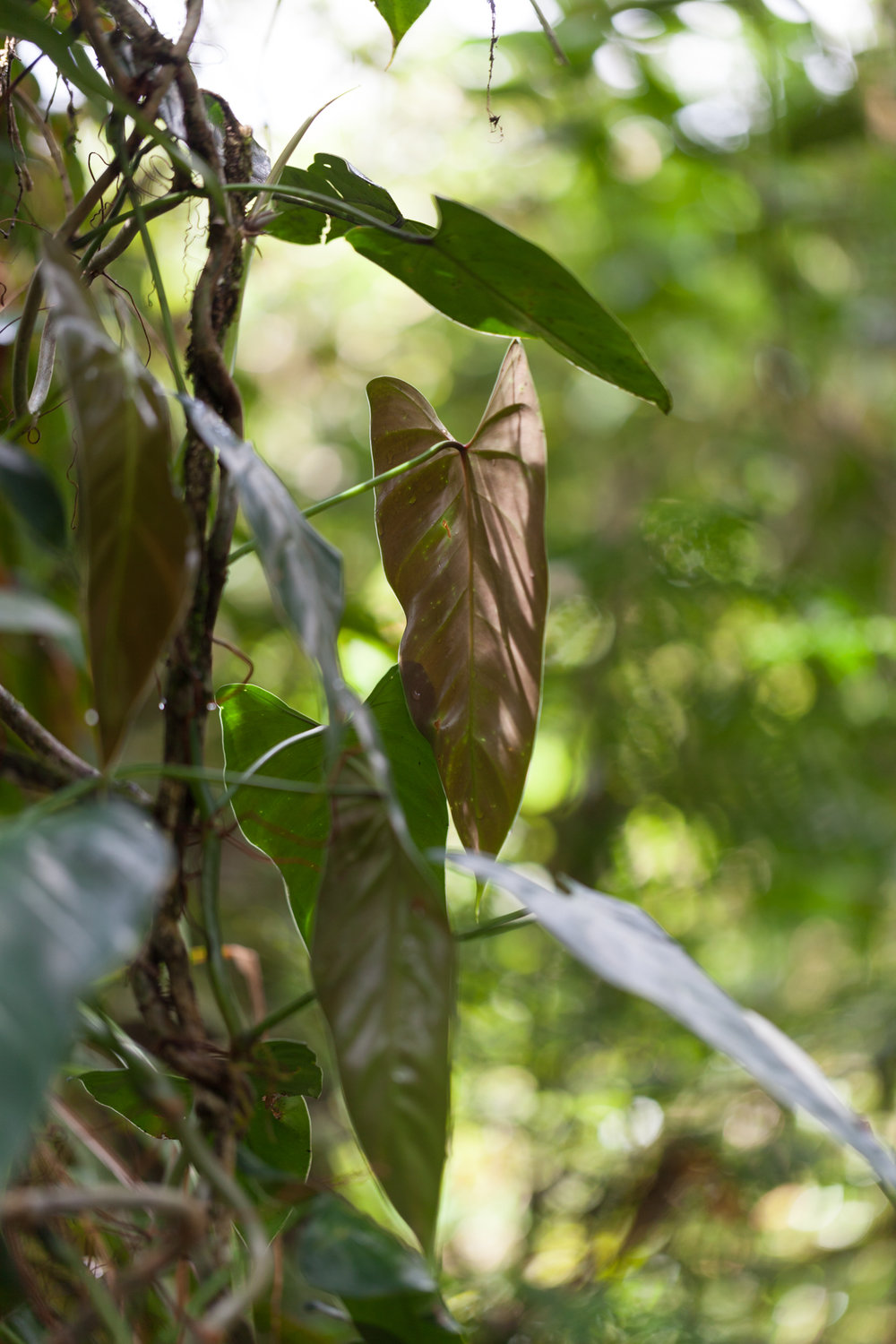 Philodendron-Tapanti-National-Park.jpg
