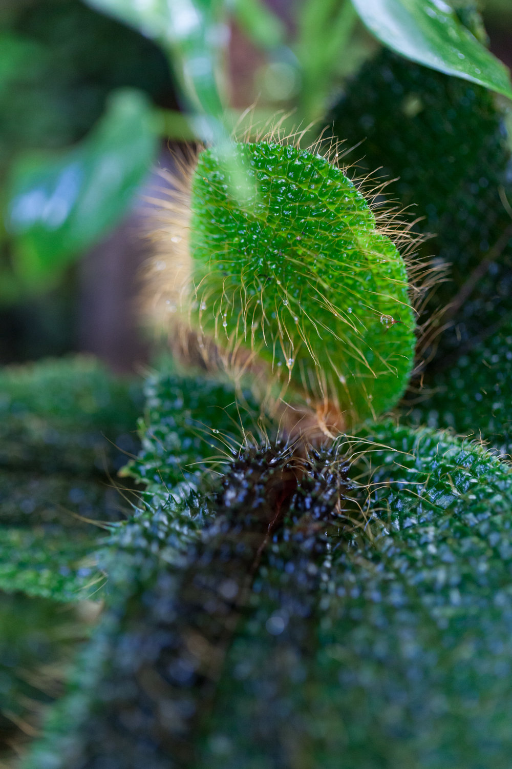 Episcia-Tapanti-National-Park.jpg