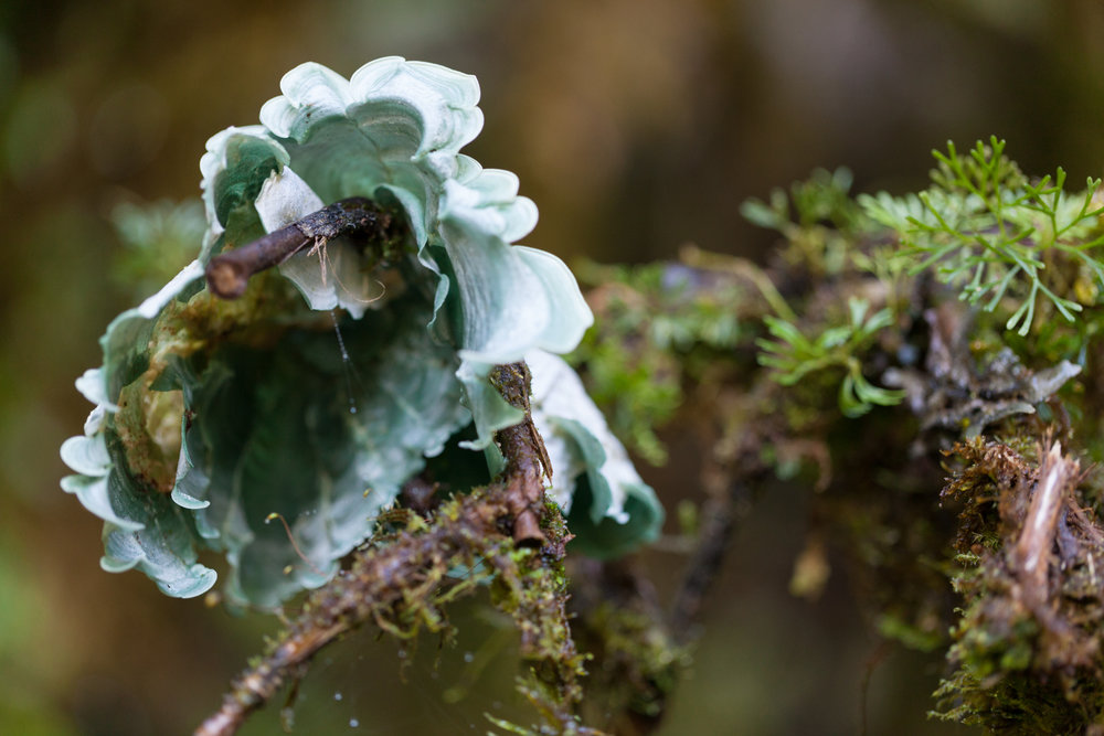 Happened upon this striking sky-blue aquamarine fungus among some moss in Costa Rica. Anyone have a clue what it is?