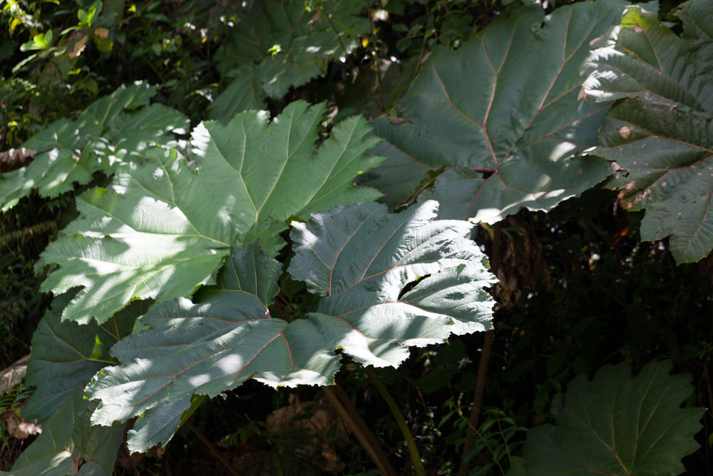 Gunnera insignis  leaves, also known as Poor Man's Umbrella.