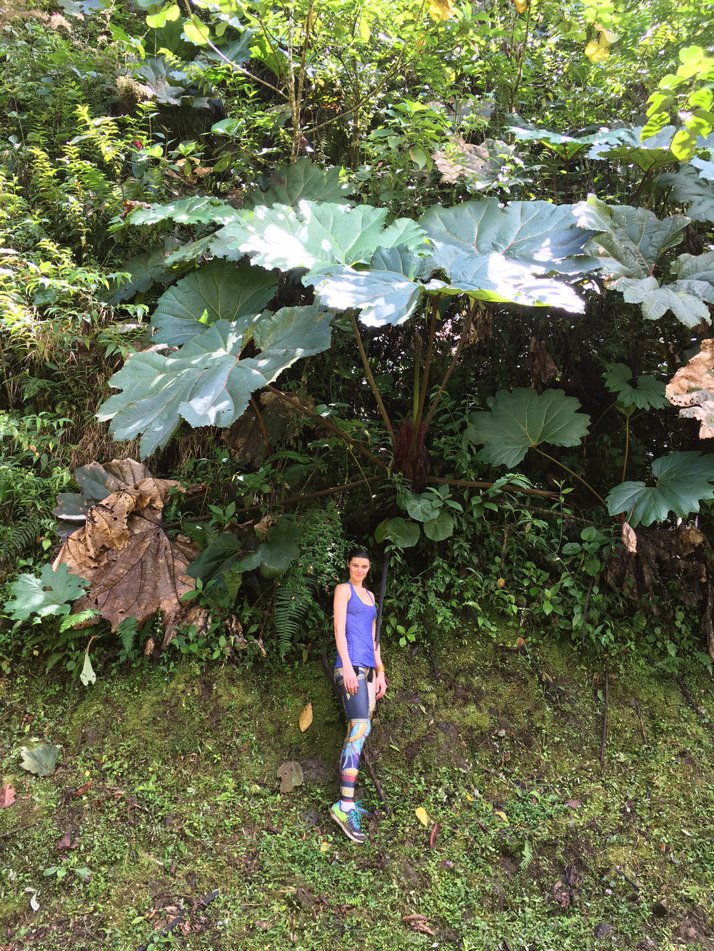 My parents grew rhubarb in our backyard, and as a kid, I'd love pulling up the bitter stalks, noshing on them raw, and hiding myself under the large leaves, which is why it was so cool to see rhubarb's relative, Gunnera insignis, or the aptly named Poor Man's Umbrella in Costa Rica, which is an impressively large broad-leaved plant often found at the edges of rainforests. Though it was the dry season here in Tapantí, the leaves would have served as a perfect natural umbrella from rain or sun!