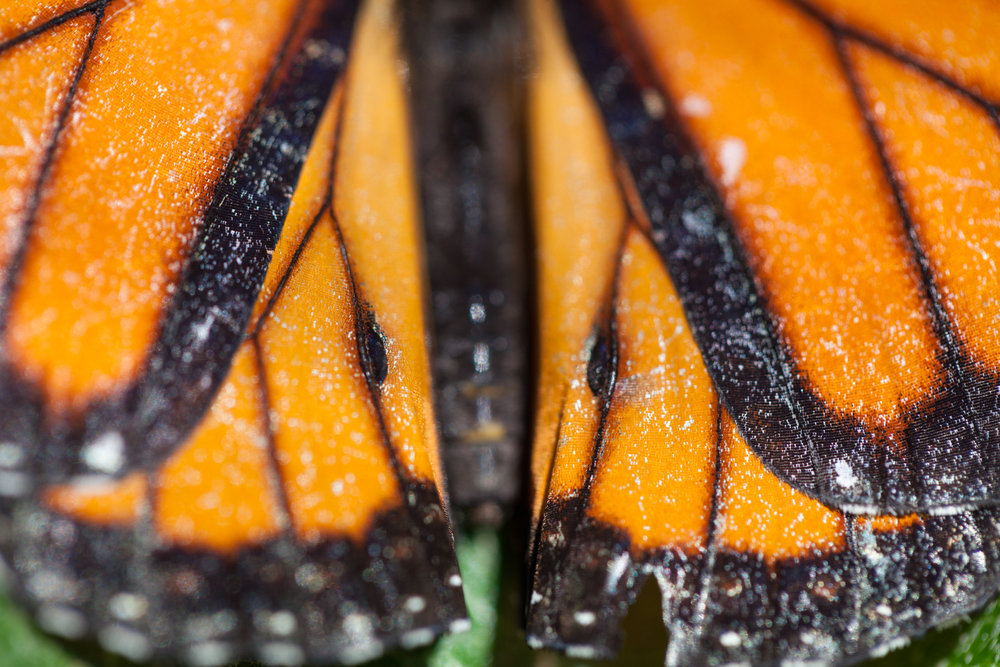 Close-up on a male monarch butterfly's wings (Danaus plexippus). You can tell this is a male, but the pheromone packets on the backs of the butterfly's wings.