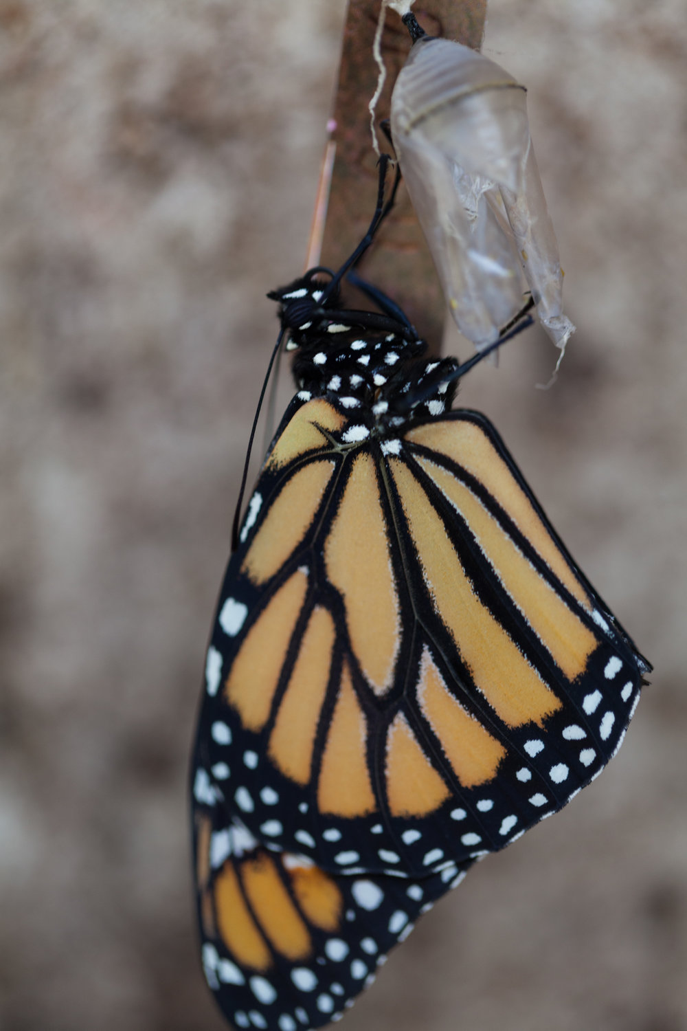 A monarch emerges from its chrysalis.