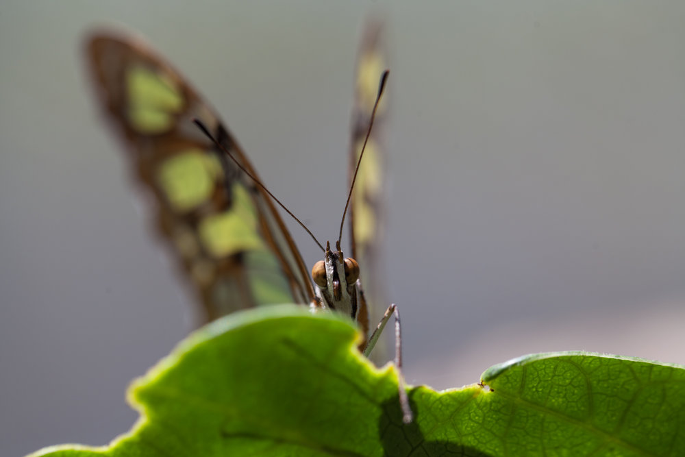 A Green Malachite butterfly ( Siproeta stelenes ) peeks over the edge of a leaf at the Spirogyra butterfly exhibit.