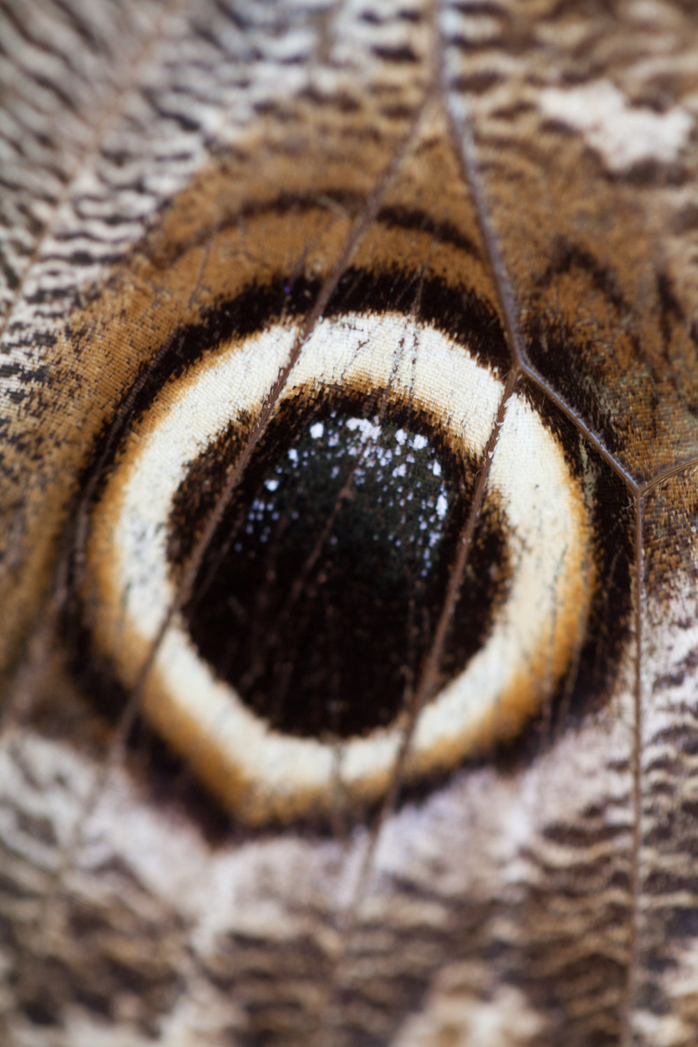 The eyespots on the Caligo eurilochus sulanus or Giant Forest Owl butterfly is one of my favorite butterfly characteristics to photograph up close.
