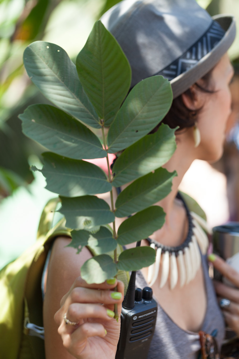 Sarah shared that this compound leaf was from a  Senna  tree, and is particularly good as a laxative.