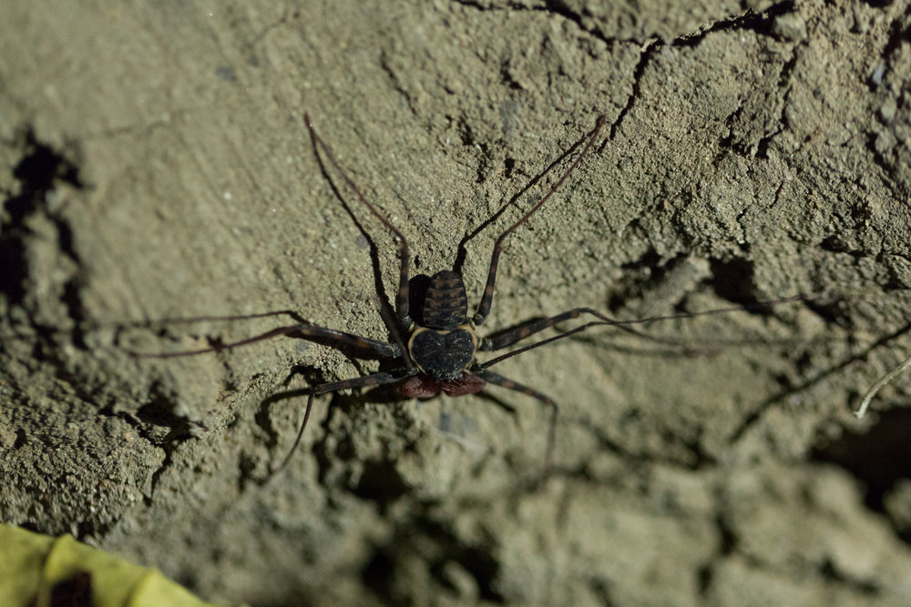 "Believe it or not, I used to raise a cousin of this fearsome looking creature, which looks like a scorpion-spider mash-up. These are called ""tailless whipsorpions"" ( Paraphrynus laevifrons ).  The Amblypygi, also known as whip spiders, are nocturnal, which means they are night hunters."