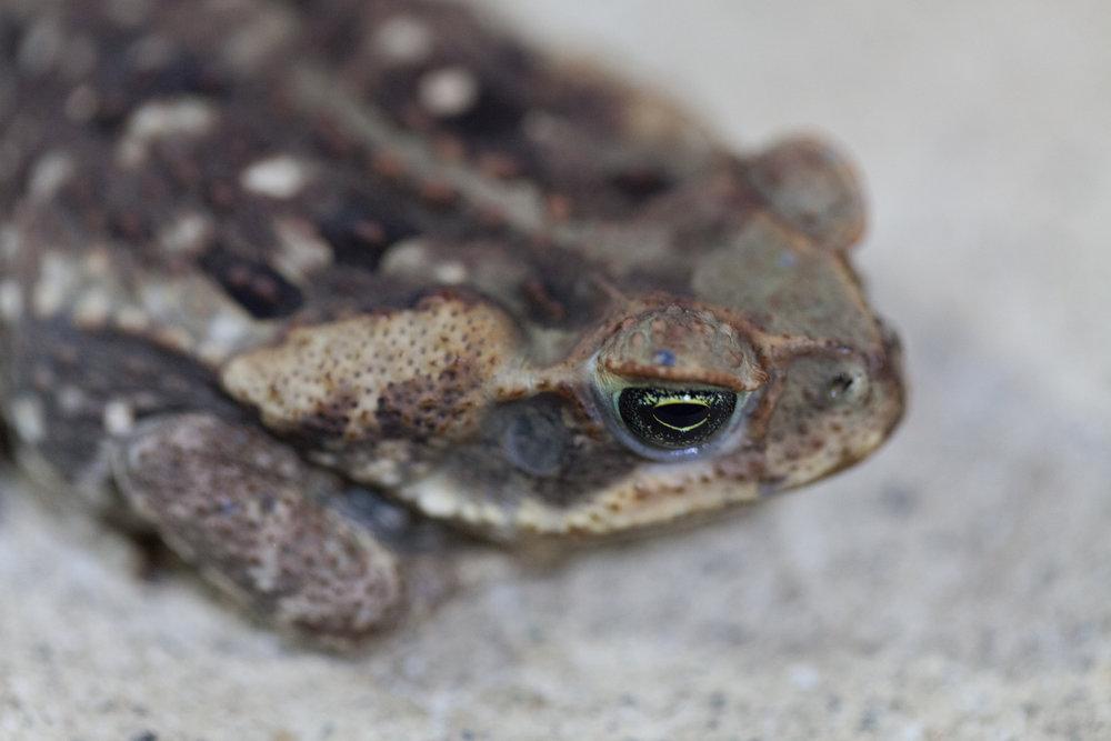 toad-costa-rica.jpg