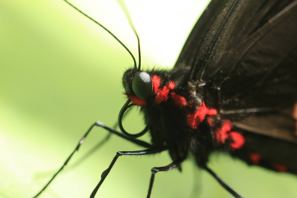 Pink-spotted-Cattkegeart-Parides-phontinus.jpg