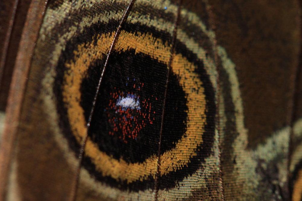 butterfly-eyespots.jpg