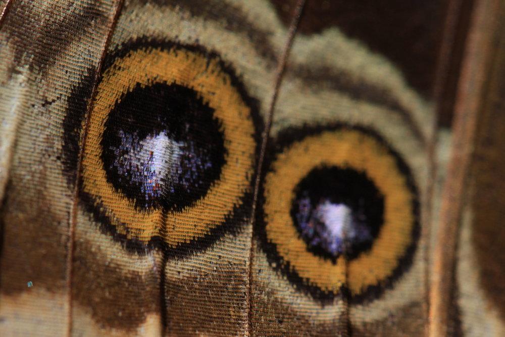 Caligo-eurilochus-sulanus-macro.jpg