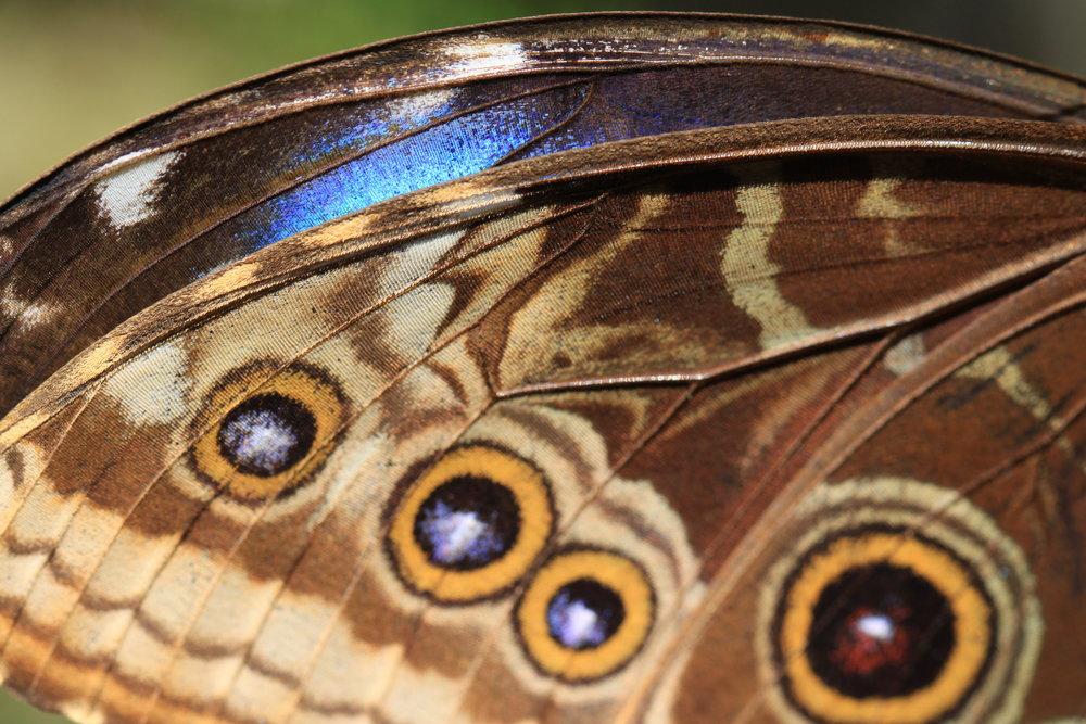 Underside of a Peleides Blue Morpho butterfly (Morpho peleides limpida)wings