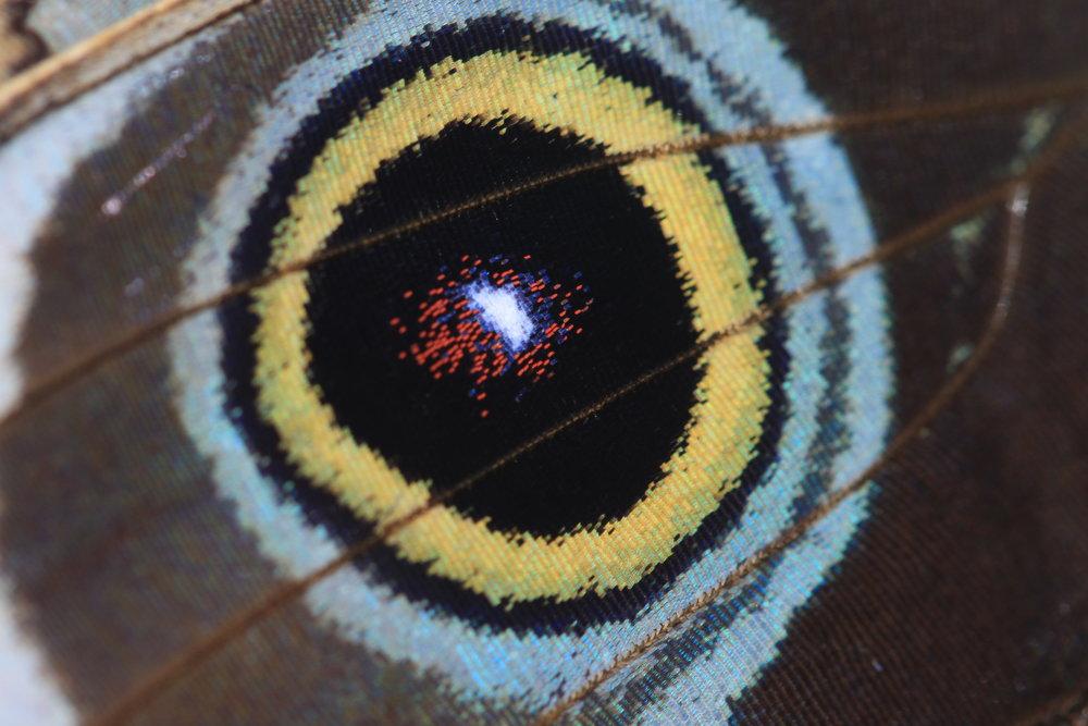 buttefly-morpho-eyespot.jpg