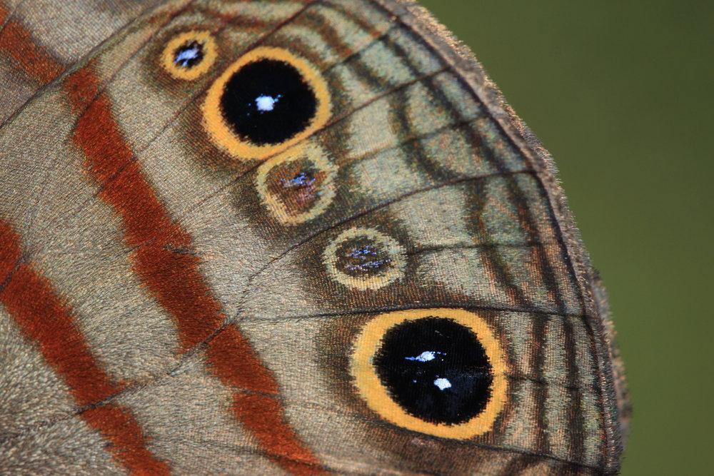 butterfly-eyespot-Costa-Rica.jpg