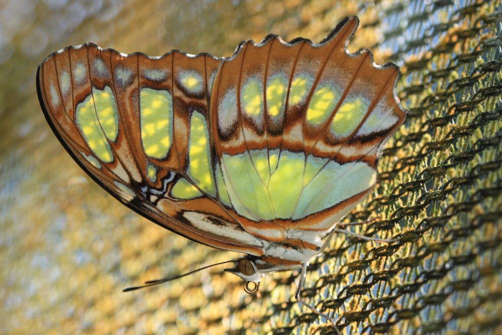 buttefly-Costa-Rica.jpg