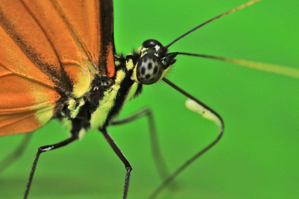 orange-butterfly-Costa-Rica.jpg