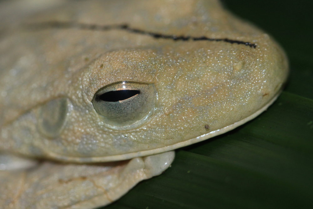 Gladiator Tree Frog ( Hypsiboas rosenbergi)  in white phase.