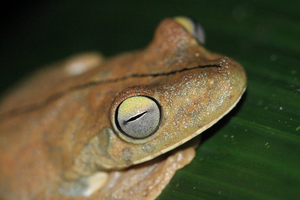 As the Gladiator Tree Frog (Hypsiboas rosenbergi) becomes alarmed, it starts to change colors.