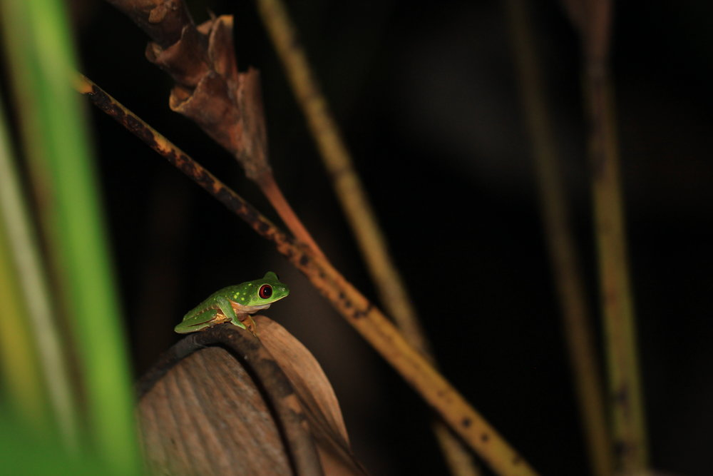 A Red-Eyed Tree Frog (Agalychnis callidryas) perched in the background on a night walk in Manuel Antonio, Costa Rica.