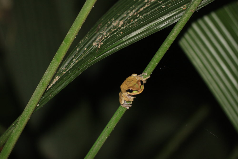 Masked Treefrog ( Smilisca phaeota )
