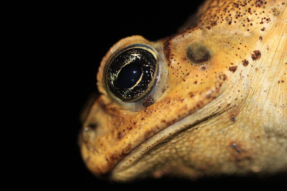Bufo-toad-Costa-Rica.jpg