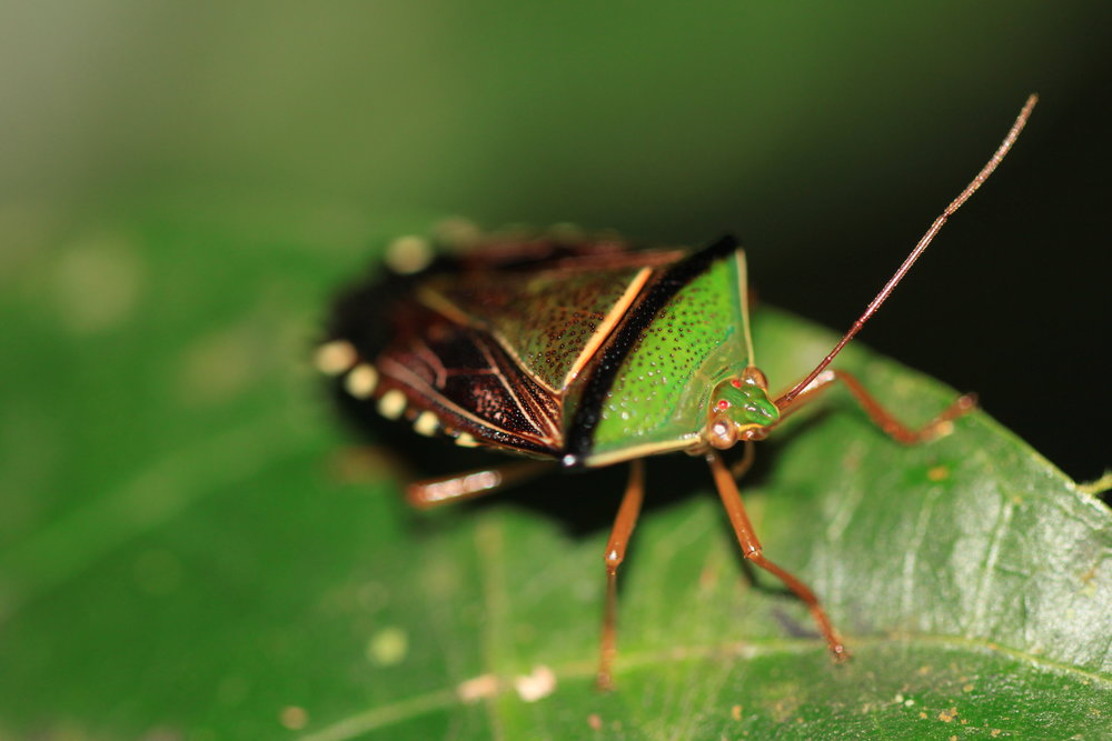 Stink bug at night in the Pentatomidae family. Manuel Antonio, Costa Rica.