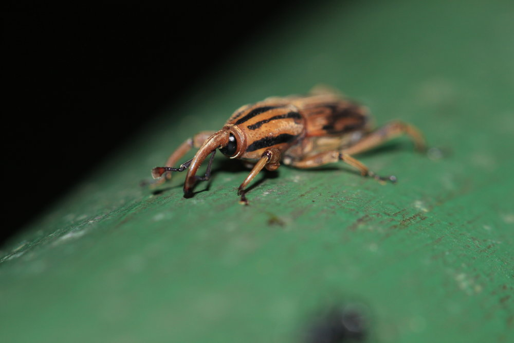 Weevil at night Costa Rica.
