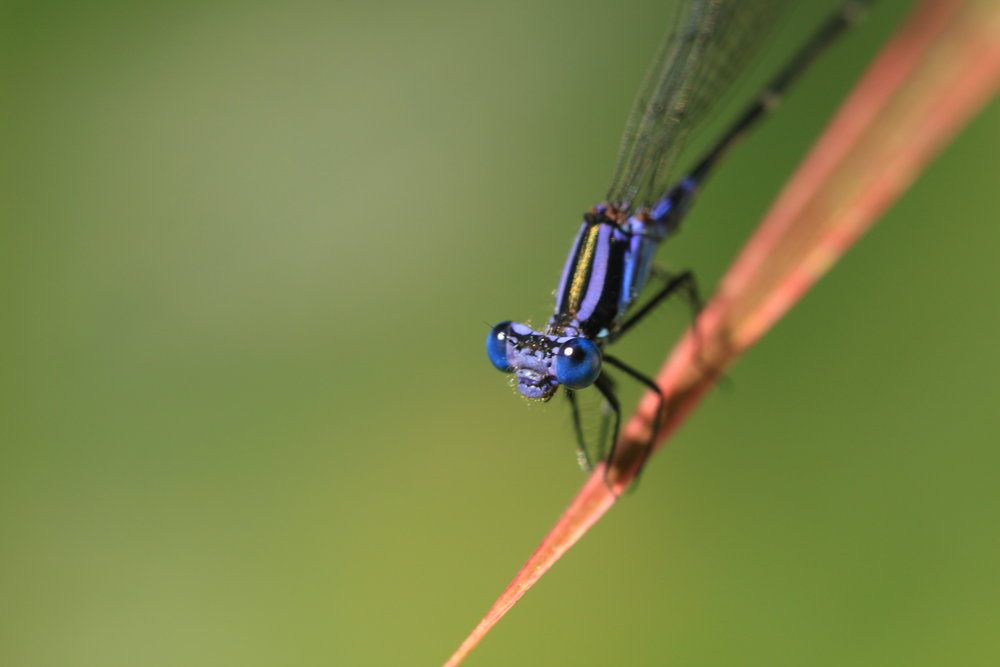 blue-damselfly-close-up.jpg